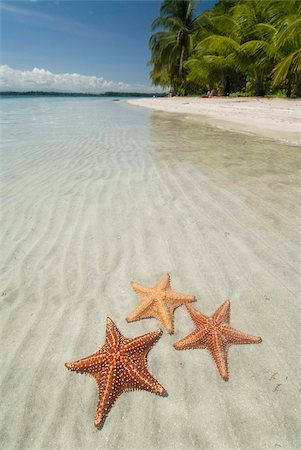 sea star - Starfish Beach, Bocas Del Drago, Isla Colon, Bocas Del Toro, Panama, Central America Stock Photo - Rights-Managed, Code: 841-05785433