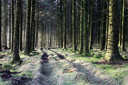 dartmoor national park - Forestry Commission plantation, Sousons, Dartmoor, Devon, England, United Kingdom, Europe Stock Photo - Rights-Managed, Code: 841-05781086