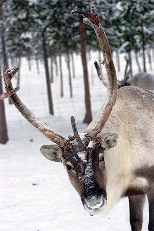 reindeer in snow - Reindeer Safari, Jukkasjarvi, Sweden, Scandinavia, Europe Stock Photo - Rights-Managed, Code: 841-05782210