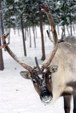 reindeer in snow - Reindeer Safari, Jukkasjarvi, Sweden, Scandinavia, Europe Stock Photo - Rights-Managed, Code: 841-05782210