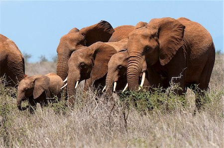 Elephants (Loxodonta africana), Lualenyi Game Reserve, Kenya, East Africa, Africa Stock Photo - Rights-Managed, Code: 841-05783188