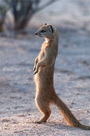 Yellow mongoose (Cynictis penicillata) Kgalagadi Transfrontier Park, South Africa, Africa Stock Photo - Rights-Managed, Code: 841-05783279