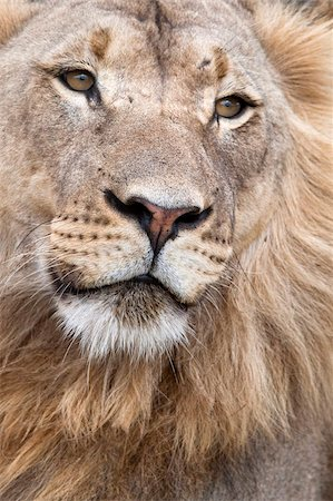 Male lion (Panthera leo), Addo National Park, Eastern Cape, South Africa, Africa Stock Photo - Rights-Managed, Code: 841-05783280