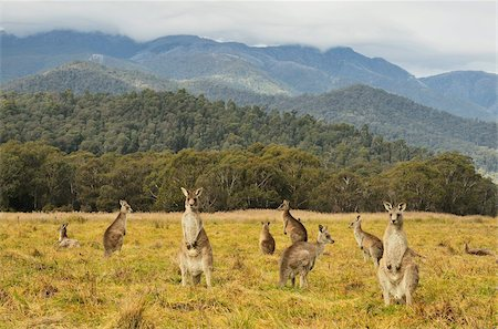 Eastern grey kangaroos, Geehi, Kosciuszko National Park, New South Wales, Australia, Pacific Stock Photo - Rights-Managed, Code: 841-05783596