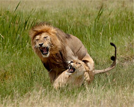 serengeti national park - Lions (Panthera leo) mating, Serengeti National Park, Tanzania, East Africa, Africa Stock Photo - Rights-Managed, Code: 841-05783942