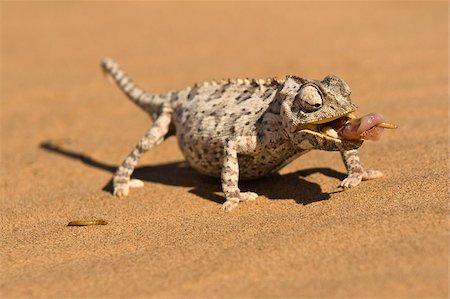 Namaqua chameleon (Chamaeleo namaquensis) wraps its tonge around a grub worm, Namib desert dune, Namibia, Africa Stock Photo - Rights-Managed, Code: 841-05797036