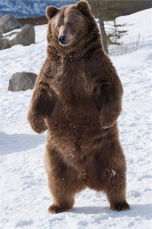 Brown bear (Ursus arctos) from coastal Alaska stands in snow, Grizzly Encounter in Bozeman, Montana, United States of America, North America Stock Photo - Rights-Managed, Code: 841-05797066
