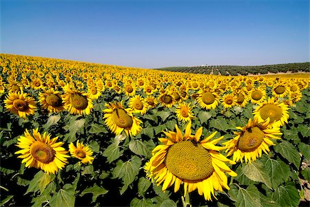 Sunflower field near Cordoba, Andalusia, Spain, Europe Stock Photo - Rights-Managed, Code: 841-05846036