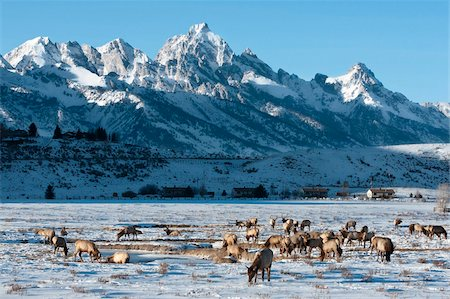 Elk (Cervus canadensis) with antlers, snow-covered Teton Mountains in the background, Elk Wildlife Refuge, Jackson Hole, Wyoming, United States of America, North America Stock Photo - Rights-Managed, Code: 841-05847770