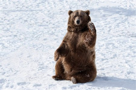 Waving brown bear (Ursus arctos) sitting in winter snow, Bozeman, Montana, United States of America, North America Stock Photo - Rights-Managed, Code: 841-05847804