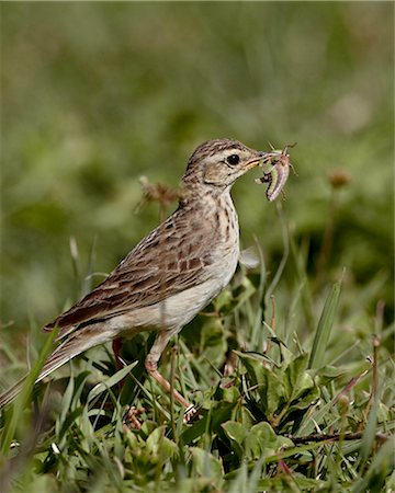 African pipit (grassland pipit) (grassveld pipit) (Anthus cinnamomeus) with a grasshopper, Ngorongoro Crater, Tanzania, East Africa, Africa Stock Photo - Rights-Managed, Code: 841-05960910