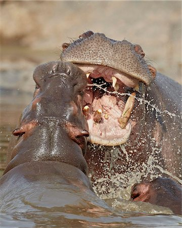 serengeti national park - Two hippopotamus (Hippopotamus amphibius) sparring, Serengeti National Park, Tanzania, East Africa, Africa Stock Photo - Rights-Managed, Code: 841-05960979