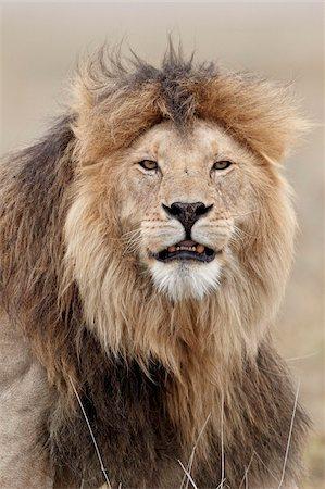 Lion (Panthera leo), Serengeti National Park, Tanzania, East Africa, Africa Stock Photo - Rights-Managed, Code: 841-05960986