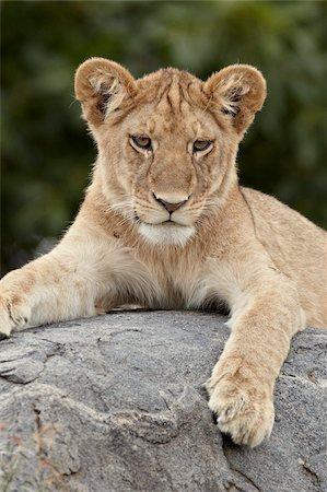 Lion (Panthera leo) cub, Serengeti National Park, Tanzania, East Africa, Africa Stock Photo - Rights-Managed, Code: 841-05961001