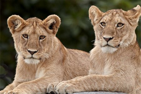 Two lion (Panthera leo) cubs, Serengeti National Park, Tanzania, East Africa, Africa Stock Photo - Rights-Managed, Code: 841-05961002