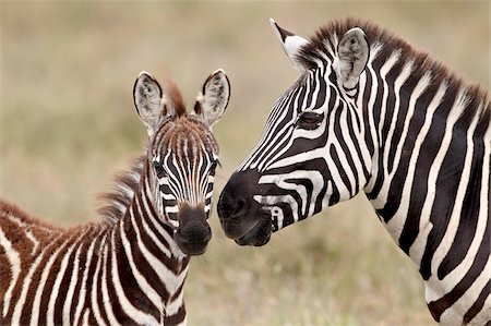 serengeti national park - Common zebra or Burchell's zebra (Equus burchelli) foal and mare, Serengeti National Park, Tanzania, East Africa, Africa Stock Photo - Rights-Managed, Code: 841-05961014