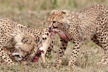 serengeti national park - Two cheetah (Acinonyx jubatus) cubs at an African hare kill, Serengeti National Park, Tanzania, East Africa, Africa Stock Photo - Rights-Managed, Code: 841-05961019