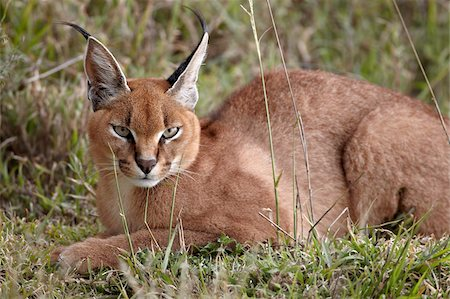 serengeti national park - Caracal (Caracal caracal), Serengeti National Park, Tanzania, East Africa, Africa Stock Photo - Rights-Managed, Code: 841-05961011
