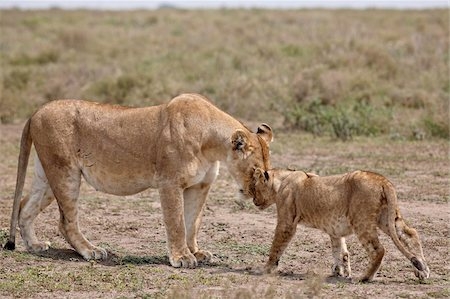 serengeti national park - Lioness (Panthera leo) greeting a cub, Serengeti National Park, Tanzania, East Africa, Africa Stock Photo - Rights-Managed, Code: 841-05961030
