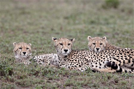 serengeti national park - Cheetah (Acinonyx jubatus) mother and two cubs, Serengeti National Park, Tanzania, East Africa, Africa Stock Photo - Rights-Managed, Code: 841-05961049