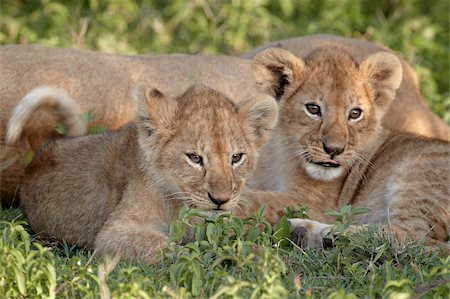serengeti national park - Two young lion (Panthera leo) cubs, Serengeti National Park, Tanzania, East Africa, Africa Stock Photo - Rights-Managed, Code: 841-05961058