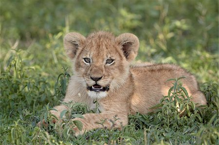 serengeti national park - Young lion (Panthera leo) cub, Serengeti National Park, Tanzania, East Africa, Africa Stock Photo - Rights-Managed, Code: 841-05961059