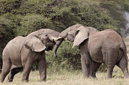 Two African elephant (Loxodonta africana) sparring, Serengeti National Park, Tanzania, East Africa, Africa Stock Photo - Rights-Managed, Code: 841-05961069