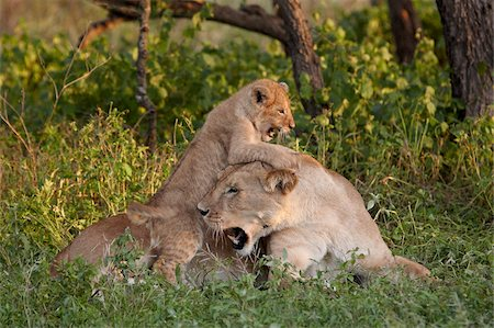 serengeti national park - Lion (Panthera leo) cub playing on its mother, Serengeti National Park, Tanzania, East Africa, Africa Stock Photo - Rights-Managed, Code: 841-05961060