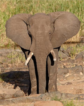 African elephant (Loxodonta africana), Kruger National Park, South Africa, Africa Stock Photo - Rights-Managed, Code: 841-05961097