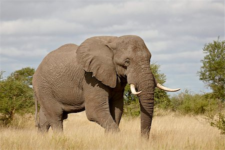 African elephant (Loxodonta africana), Kruger National Park, South Africa, Africa Stock Photo - Rights-Managed, Code: 841-05961123