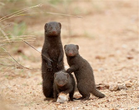 dwarf - Three dwarf mongoose (Helogale parvula), Kruger National Park, South Africa, Africa Stock Photo - Rights-Managed, Code: 841-05961264