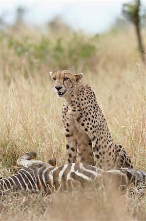 Cheetah (Acinonyx jubatus) at a zebra kill, Kruger National Park, South Africa, Africa Stock Photo - Rights-Managed, Code: 841-05961261