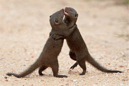 dwarf - Two dwarf mongoose (Helogale parvula) sparring, Kruger National Park, South Africa, Africa Stock Photo - Rights-Managed, Code: 841-05961263