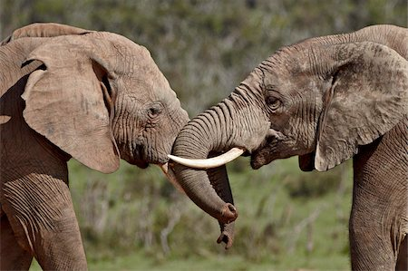 Two African elephant (Loxodonta africana) face to face, Addo Elephant National Park, South Africa, Africa Stock Photo - Rights-Managed, Code: 841-05961357