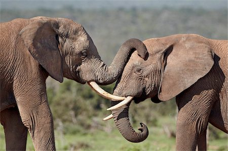 Two African elephant (Loxodonta africana), Addo Elephant National Park, South Africa, Africa Stock Photo - Rights-Managed, Code: 841-05961350