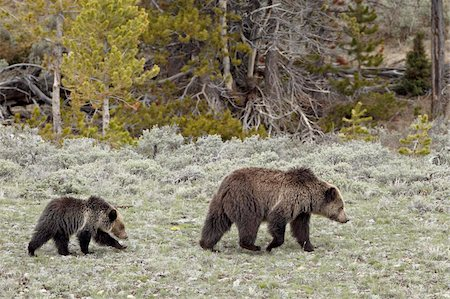 Grizzly bear (Ursus arctos horribilis) sow with a yearling cub, Yellowstone National Park, UNESCO World Heritage Site, Wyoming, United States of America, North America Stock Photo - Rights-Managed, Code: 841-05961408