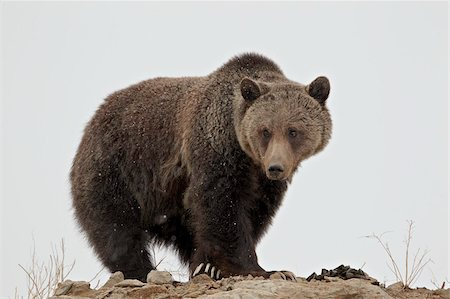 Grizzly bear (Ursus arctos horribilis), Yellowstone National Park, UNESCO World Heritage Site, Wyoming, United States of America, North America Stock Photo - Rights-Managed, Code: 841-05961414