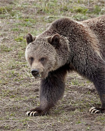 Grizzly bear (Ursus arctos horribilis), Yellowstone National Park, UNESCO World Heritage Site, Wyoming, United States of America, North America Stock Photo - Rights-Managed, Code: 841-05961415