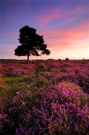 pink - Bell heather in full bloom on the New Forest heathland, Hampshire, England, United Kingdom, Europe Stock Photo - Rights-Managed, Code: 841-05962270