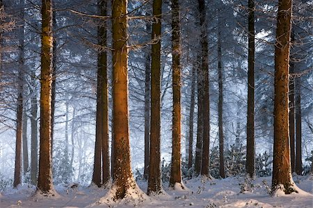 snow - Snow covered winter woodland, Morchard Wood, Devon, England, United Kingdom, Europe Stock Photo - Rights-Managed, Code: 841-05962618