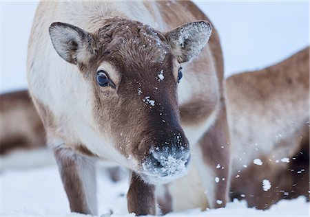 reindeer in snow - Young reindeer (Rangifer tarandus) grazing, Kvaloya Island, Troms, North Norway, Scandinavia, Europe Stock Photo - Rights-Managed, Code: 841-06030772