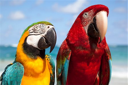 Colourful parrots, Punta Cana, Dominican Republic, West Indies, Caribbean, Central America Stock Photo - Rights-Managed, Code: 841-06033127