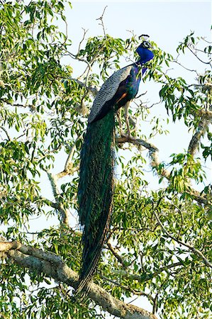 Indian Peafowl (pavo cristatus), Yala National Park, Sri Lanka, Asia Stock Photo - Rights-Managed, Code: 841-06344457