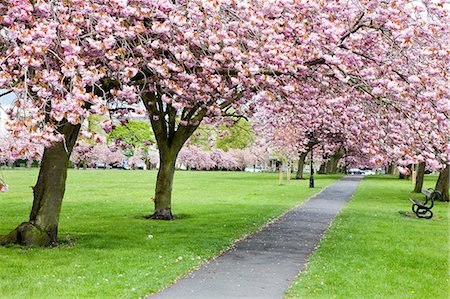 Cherry blossom on The Stray in spring, Harrogate, North Yorkshire, Yorkshire, England, United Kingdom, Europe Stock Photo - Rights-Managed, Code: 841-06344990