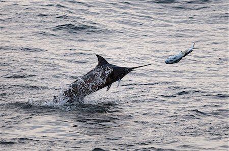 Blue Marlin (Makaira nigricans) hunting Dorado (Coryphaena hippurus), Congo, Africa Stock Photo - Rights-Managed, Code: 841-06345474