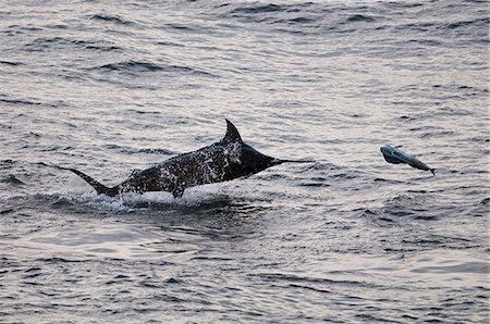 Blue Marlin (Makaira nigricans) hunting Dorado (Coryphaena hippurus), Congo, Africa Stock Photo - Rights-Managed, Code: 841-06345475