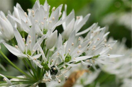 Close-up of wild garlic (ramsons) (Allium ursinum) carpeting woodland floor, Wiltshire, England, United Kingdom, Europe Stock Photo - Rights-Managed, Code: 841-06345479