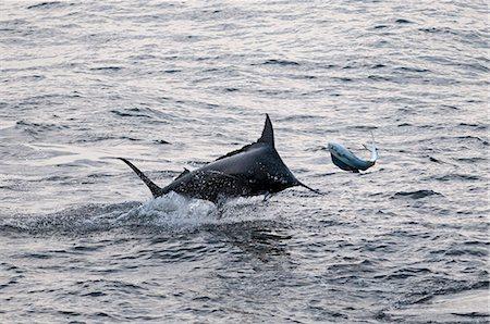 Blue Marlin (Makaira nigricans) hunting Dorado (Coryphaena hippurus), Congo, Africa Stock Photo - Rights-Managed, Code: 841-06345471