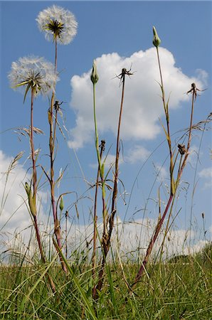 Showy goatsbeard (Jack go to bed at noon) (Meadow salsify) (Tragopogon pratensis) seedhead clocks and closed flowers, Wiltshire, England, United Kingdom, Europe Stock Photo - Rights-Managed, Code: 841-06345524