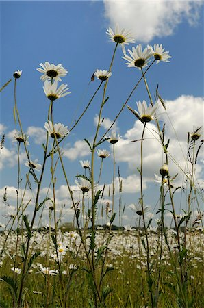 Low angle view of ox-eye daisies (marguerites) (Leucanthemum vulgare), carpeting hay meadow, Wiltshire, England, United Kingdom, Europe Stock Photo - Rights-Managed, Code: 841-06345533